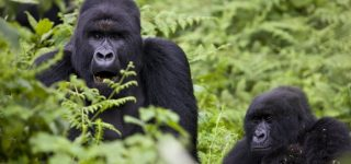 17 Facts about Mountain Gorillas