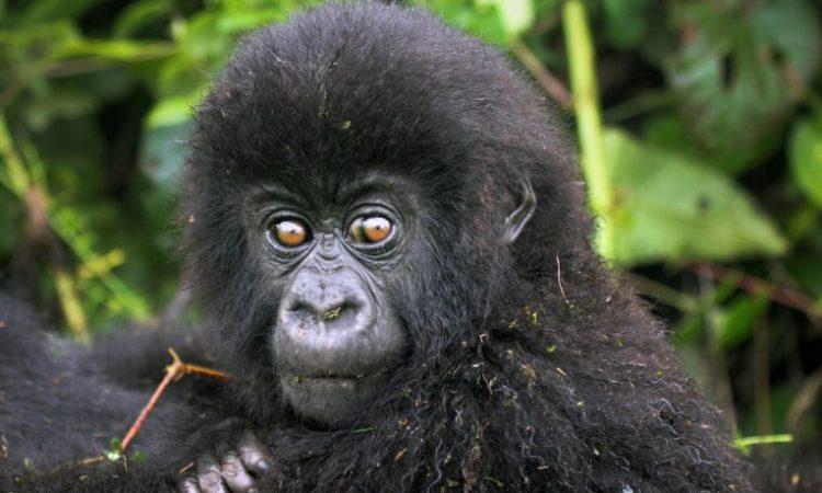 Congo Mountain Gorilla Families