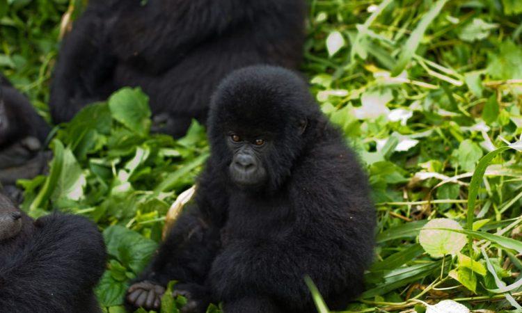 Cost of Gorilla Trekking