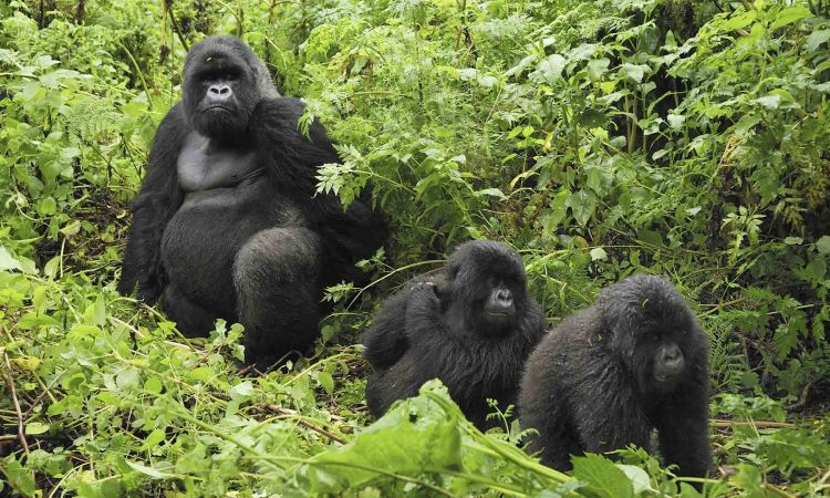 Types of Mountain Gorillas
