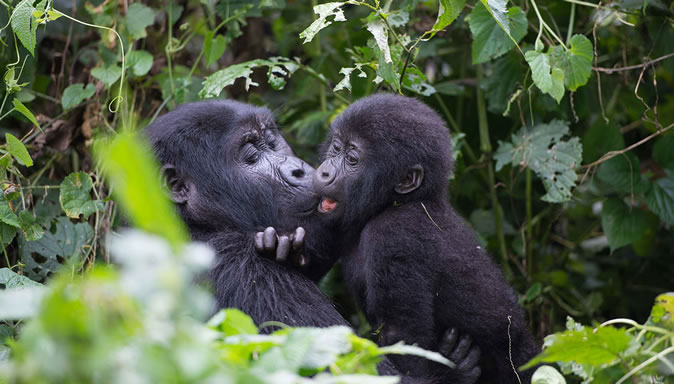 Why Mountain Gorillas are Endangered