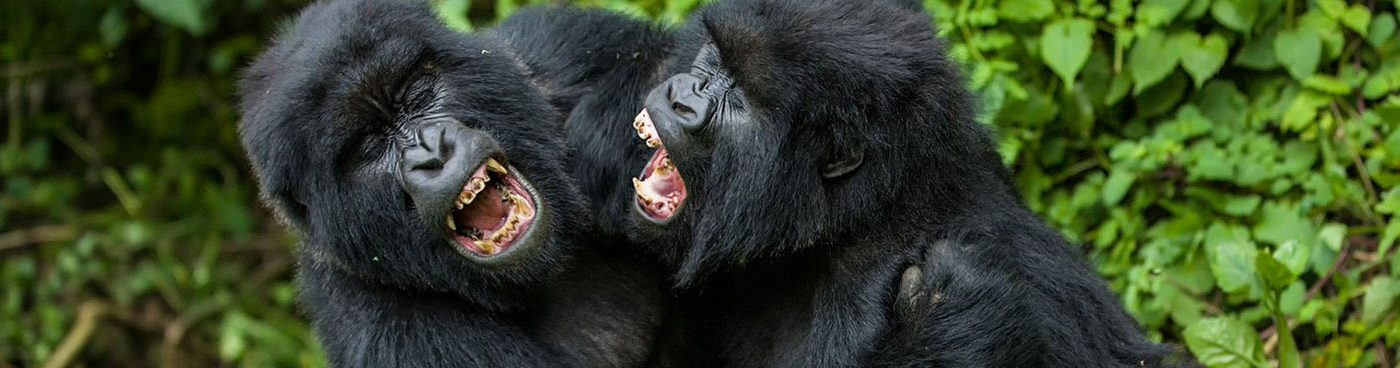 Virunga Gorillas Fighting