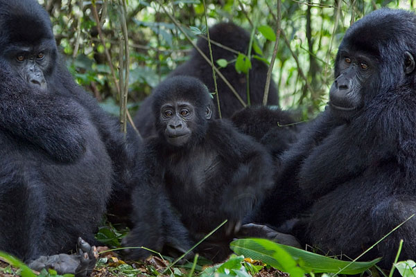 5 Days Virunga and Bwindi