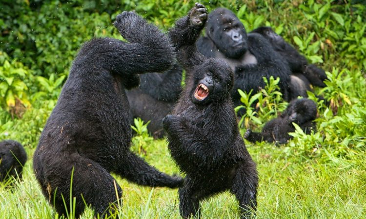 Common reasons why Gorillas fight