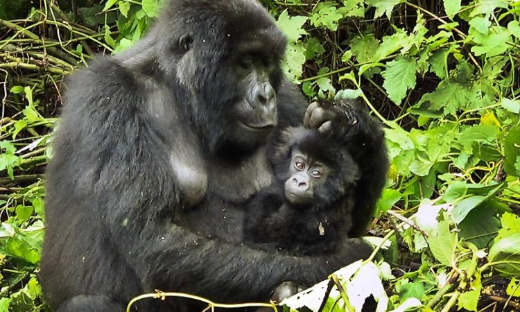 6 Days Virunga, Nyiragongo and Kahuzi Biega