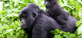 Facts about gorillas