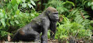 Eastern Lowland Gorilla Trekking