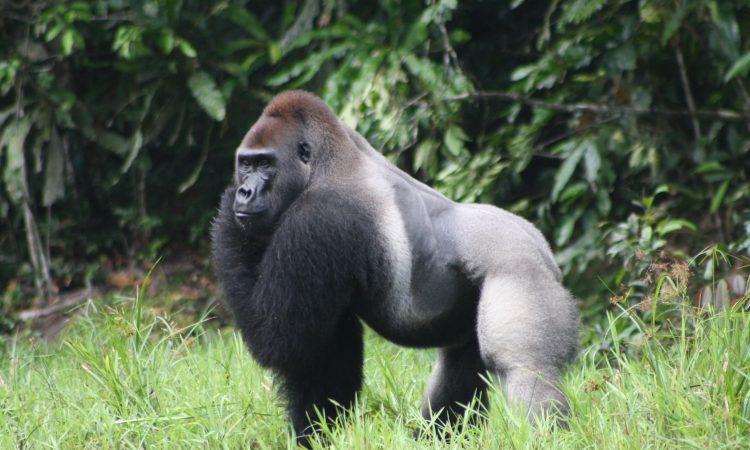 lowland gorilla in Kahuzi Biega National Park