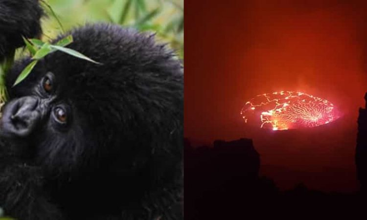 4 Days Virunga Gorilla Trekking & Nyiragongo Hiking Congo