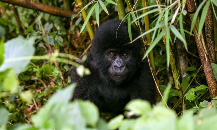 Le Petit Virunga Package