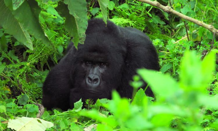 The Virunga Classic