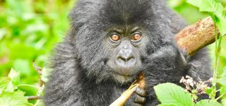 A day in the wild with mountain Gorillas