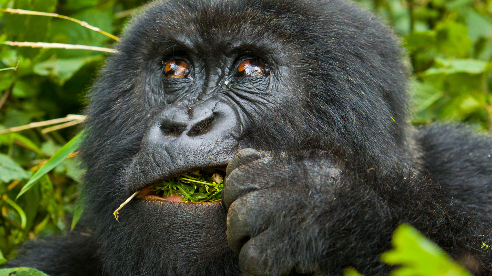 Gorillas Eat Roots, Shoots and leaves in their diet