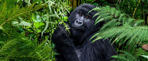 Gorilla Tours in Africa