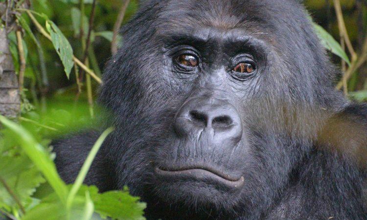 Gorillas in Congo
