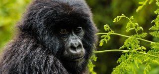 Gorilla Tours in Afric