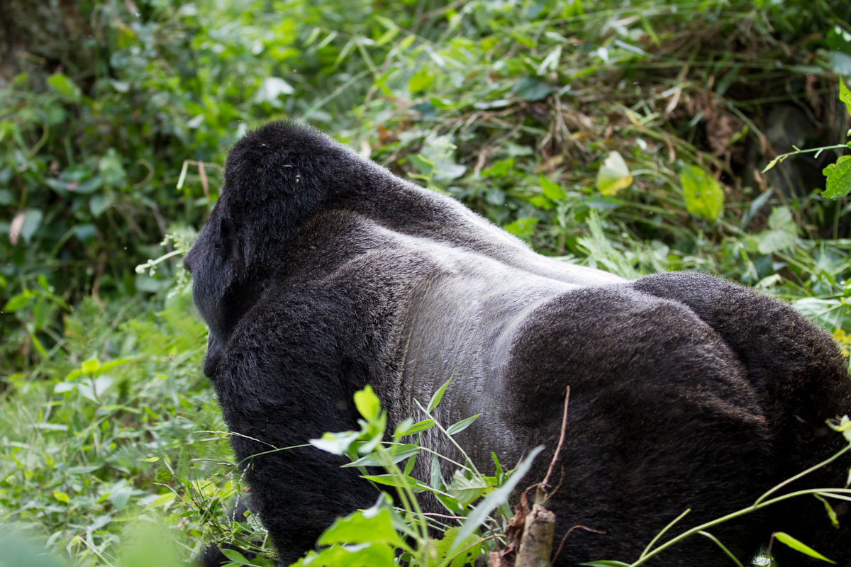 Mgahinga National Park has many silverback gorillas.