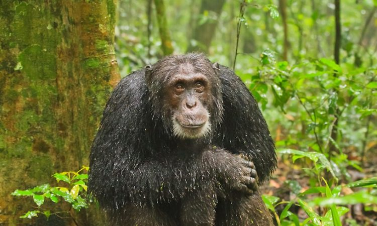 Chimpanzee after rain in Kibale National Park