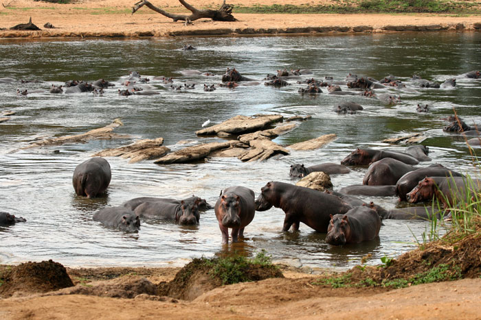Hippos in Garamba National Park
