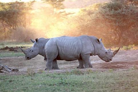 Rhinos in Ziwa Rhino Sanctuary