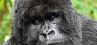 Congo Gorilla Trekking Permits