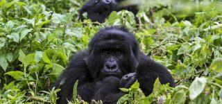 3 Days Congo Gorilla Trekking from Kigali