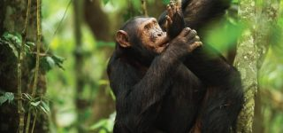 3 Days Nyungwe Double Chimpanzee Trekking Tour
