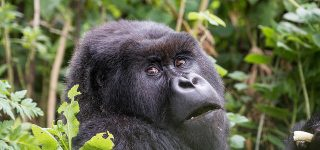 4 Days Virunga Gorilla Trekking from Kampala