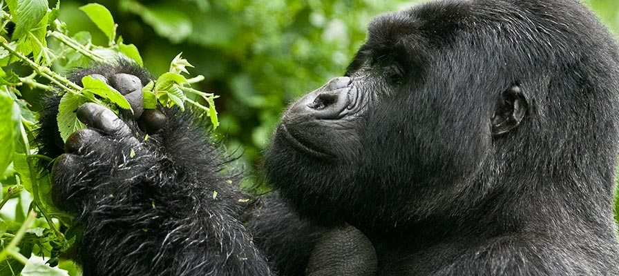 4 Days Virunga Gorilla Trekking from Kampala