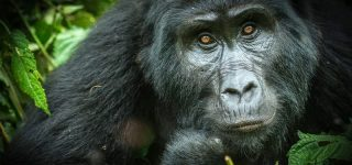 5 Days Gorilla Trekking in Virunga from Uganda