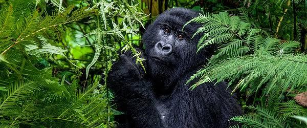 Africa Gorilla Safaris