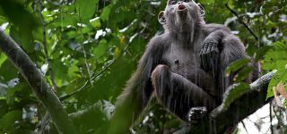 Chimpanzees in Congo