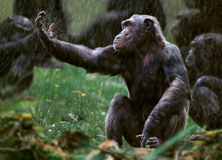 Chimpanzees in Congo