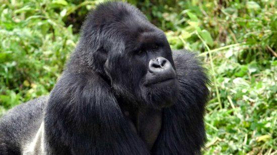 3 Days Virunga Gorilla Trekking from Rwanda