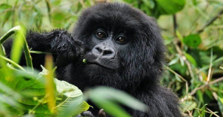 10 Days Congo & Uganda Safari