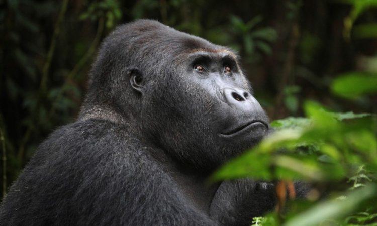 12 Days Kahuzi Biega & Virunga Classic Package