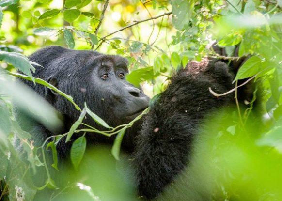 6 Days Uganda Gorilla, Chimpanzee & Wildlife Safari