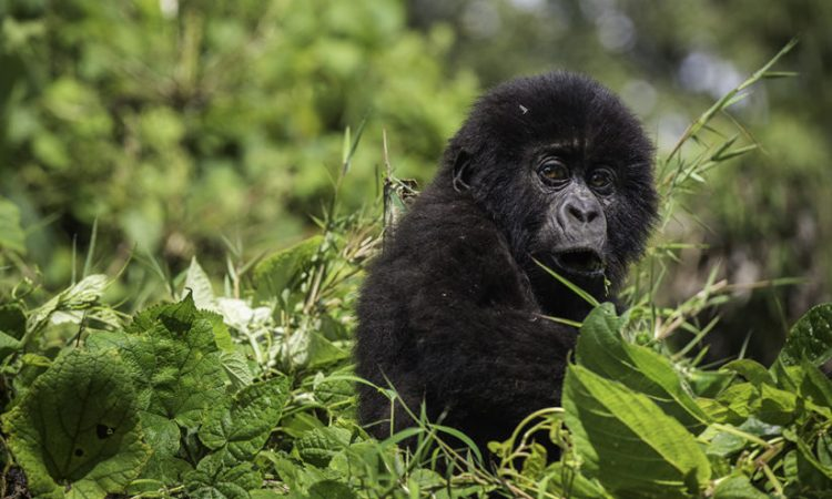 Jomba Community Camp and Mountain Gorilla Trek