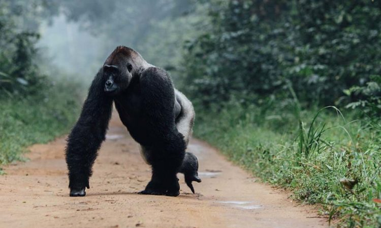 7 Days Congo Gorilla & Chimpanzee Safari