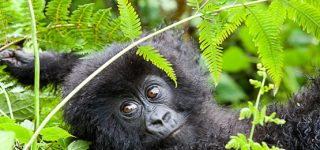 5 Days Virunga Gorilla & Volcanoes Golden Monkey Trekking