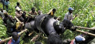 Why are gorillas poached?