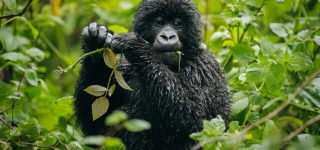 Discounted Gorilla Permits in Virunga