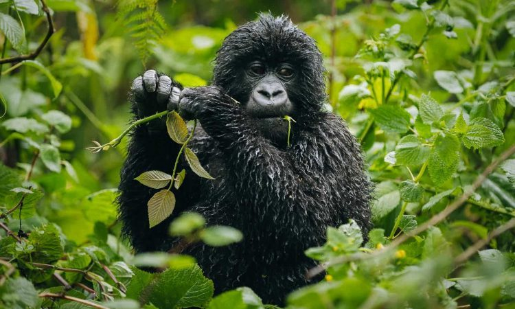 Discounted Gorilla Permits in Virunga