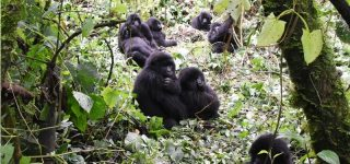 Gorilla Groups in Virunga National Park