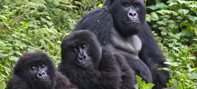 Gorilla Groups in Virunga National Park