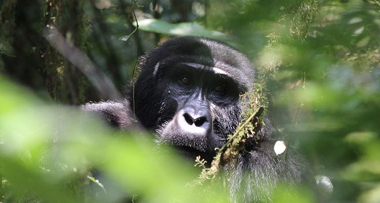 Guidelines of Gorilla trekking in Uganda