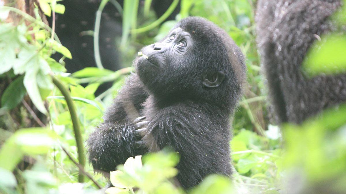 Safety of gorilla trekking in Uganda