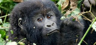 Safety of gorilla trekking in Uganda