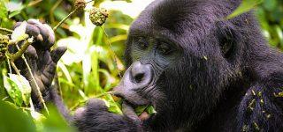2 days gorilla Uganda from Kigali safari