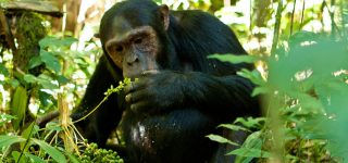 4 Days Uganda Chimpanzee & Wildlife Safari (Kibale & Queen Elizabeth National Parks)